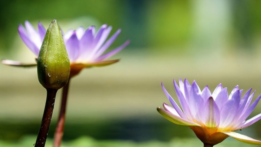 water-lily-1490078_1920